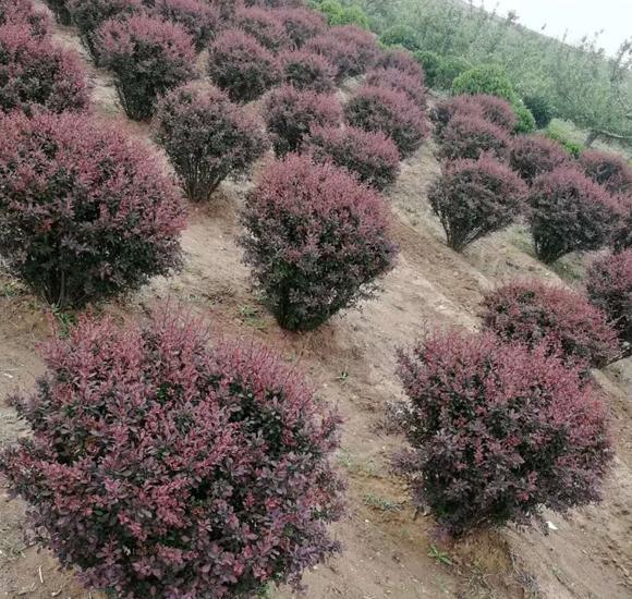 济南紫叶小檗